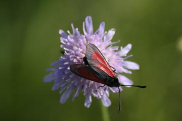 Schmetterling im Kaiserstuhl